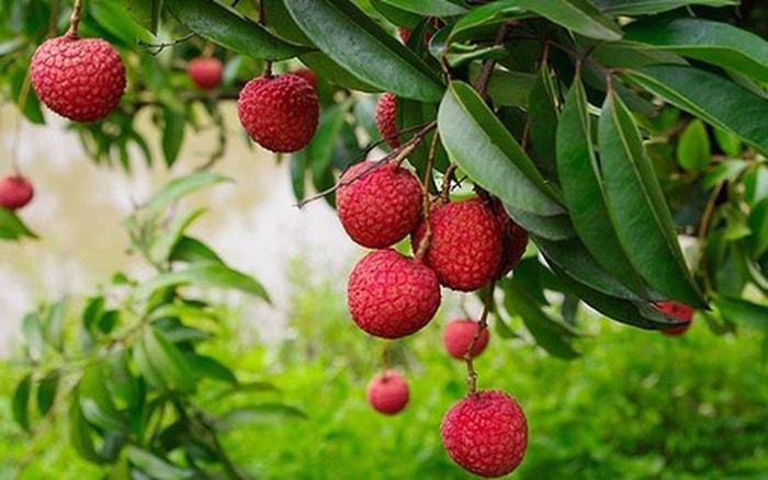 Vải là một trong những loại trái cây đặc trưng trong mùa hè ở Việt Nam