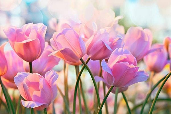 Hoa tulip cắt cành