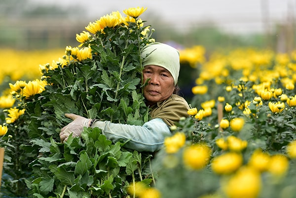 Hoa cúc cắt cành