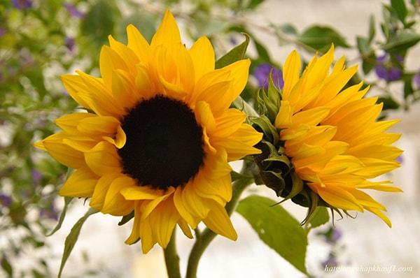 Hoa hướng dương cắt cành