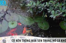 Có nên trồng hoa sen trong hồ cá ngoài trời không?